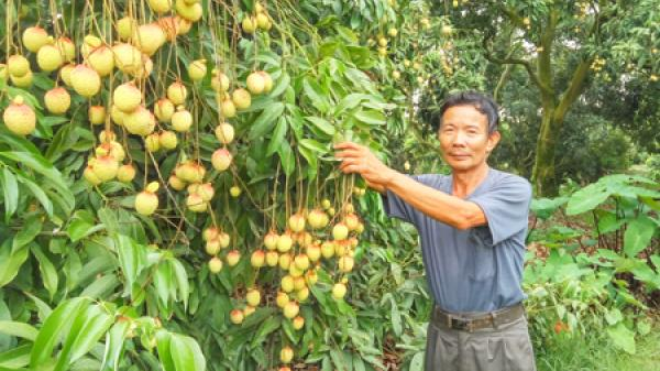 Hưng Yên: Vải u trứng ngọt thơm, giá cao gấp gần 3 lần vải lai u