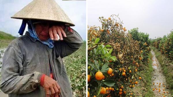Người nông dân rơi nước mắt, bất lực vì kẻ xấu phá hoại gần 450 cây quất khi sắp đến Tết