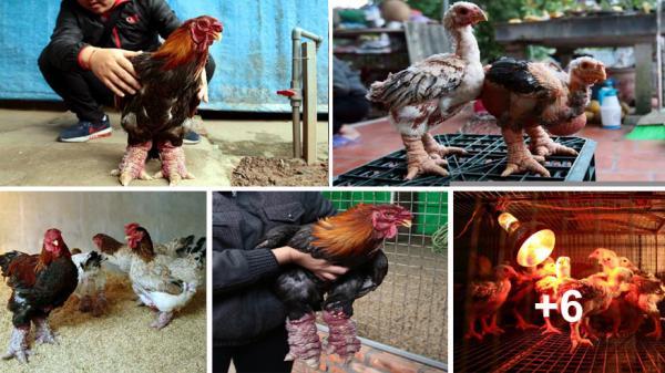 Ngắm gà Đông Tảo với cặp chân thô xấu xí giá từ 10 triệu đồng/con ở Hưng Yên