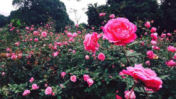 Tận mục vườn hồng cổ giá trăm triệu mỗi cây, thu nhập vài tỷ mỗi năm tại Hưng Yên