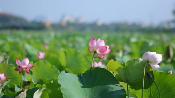 Về Hưng Yên đừng quên tới ngắm cánh đồng sen thơm ngát đẹp như tranh vẽ