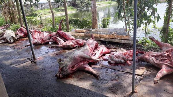 Bàng hoàng trang trại 130 con lợn bị thiêu cháy: Nguyên nhân do đâu?