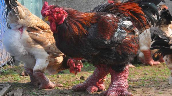 Về Đông Tảo, Hưng Yên xem đặc sản gà Tiến Vua quý hiếm của Việt Nam