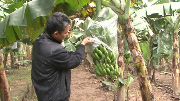 Thu nhập hàng trăm triệu đồng mỗi năm từ trồng chuối ở Khoái Châu, Hưng Yên