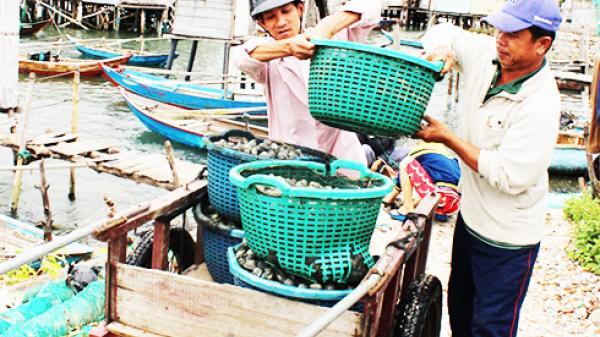 TP. Cam Ranh: Người dân trúng đậm mùa sò lông