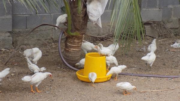 Diên Khánh: Nuôi giống gà rừng lạ, giá vài triệu đồng mỗi cặp không có bán