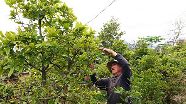 Khánh Hòa: Phập phồng với mai Tết