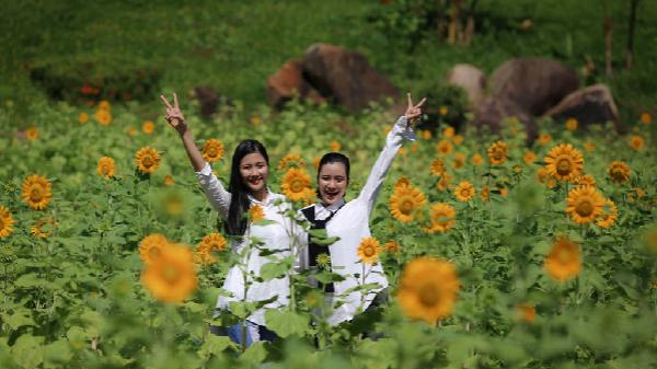 Vườn hướng dương Yang Bay khoe sắc