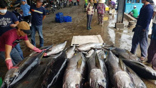 Ngư dân Khánh Hòa trúng đậm cá ngừ đại dương xuyên Tết