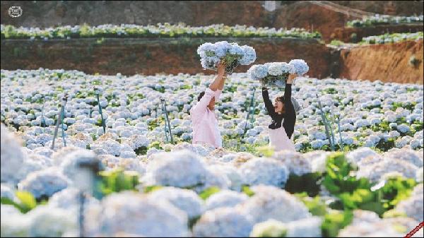 Lộ diện cánh đồng hoa cẩm tú cầu đẹp ngẩn ngơ ở Đà Lạt