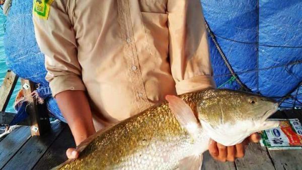 """Khánh Hòa: 2 """"cần thủ"""" may mắn bắt được cá Sủ vàng, trả giá gần nửa tỷ đồng vẫn chưa bán"""