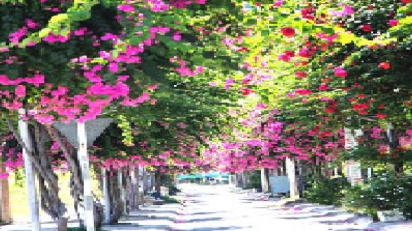 """""""Lạc"""" vào cung đường hoa giấy đẹp nhất Nha Trang"""