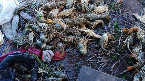Khánh Hòa: 60.000 con tôm hùm chết do ngạt oxi?