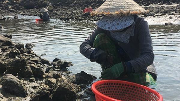 Nghề đào bắt thức ăn cho tôm hùm mang lại thu nhập cao
