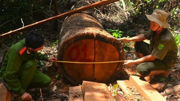 Đắk Nông: Để mất rừng, hàng loạt lãnh đạo doanh nghiệp bị khởi tố, bắt giam