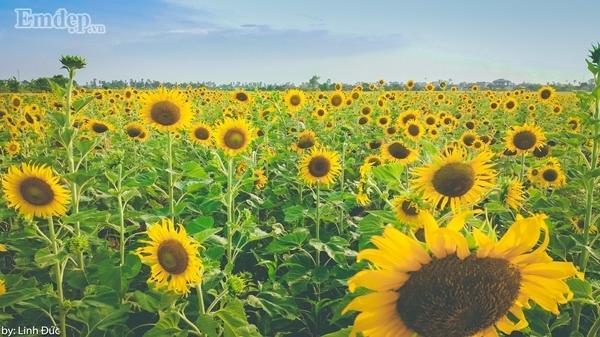 Để mùa hè thêm rực rỡ hãy nhớ ghé thăm cánh đồng hoa hướng dương đang nở ở Thái Bình