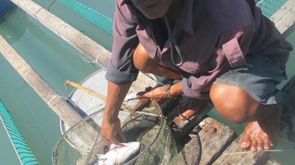 Ninh Ích (Khánh Hòa): Dân điêu đứng vì hải sản chết trắng lồng bè