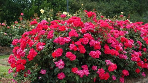 Ngắm hình ảnh đẹp mê hồn của công viên hoa hồng lớn nhất miền Bắc ngay gần Thái Nguyên chuẩn bị mở cửa