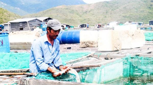 Khánh Hòa: Cá bớp chết, hàng chục hộ nuôi trắng tay