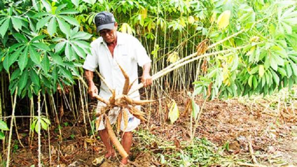 Xã Ninh Ích: Chọn mì nếp làm sản phẩm chủ lực