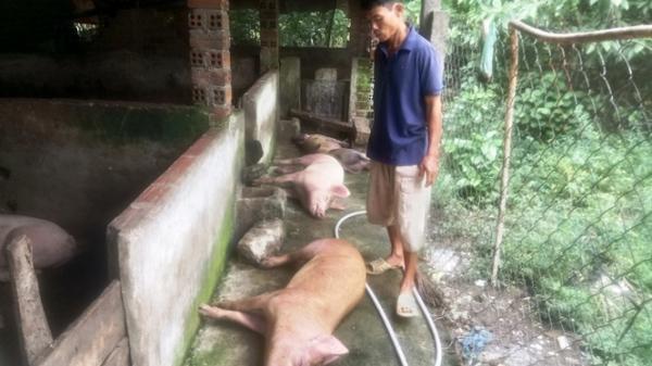 Heo Khánh Hòa liên tục chết không rõ nguyên nhân