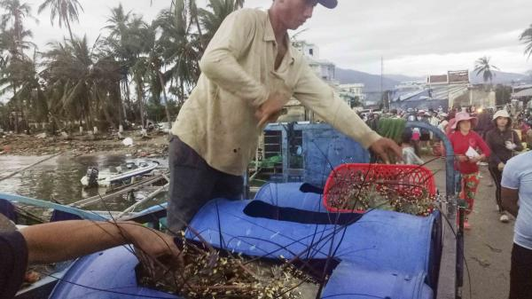 Vạn Ninh: Ghe giã cào được hàng tấn tôm hùm, cá bớp