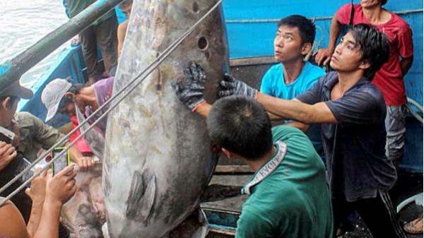 Ngư dân bắt được cá ngừ vây xanh lớn nhất Việt Nam