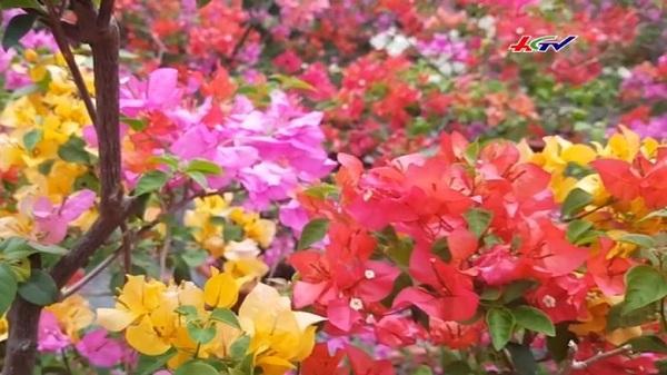 """ĐỘC - LẠ vườn hoa giấy """"6 trong 1"""" chưng tết ở miền Tây"""