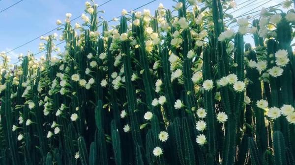 Miền Tây: Phát SỐT với hàng rào xương rồng nở đầy hoa trắng, làm mát rượi một con đường