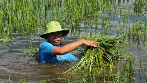 Lũ sớm và nhanh hơn dự báo: Nông dân Kiên Giang tốn tiền cứu lúa