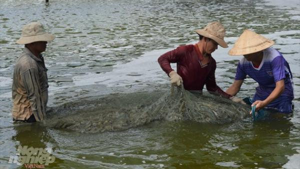 Kiên Giang: Nuôi trồng thủy sản thắng lớn