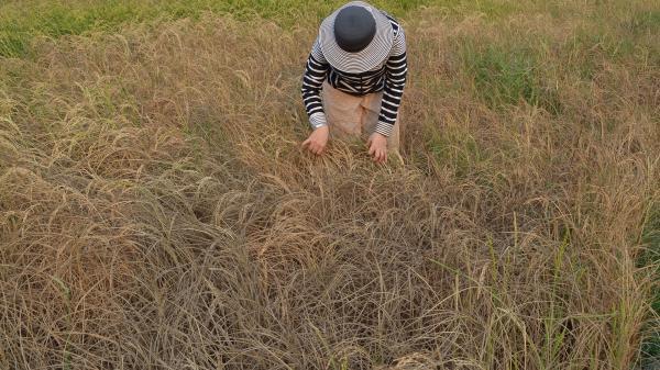 Kiên Giang: Thêm 1.508ha lúa bị hạn mặn gây thiệt hại chỉ trong 1 tuần
