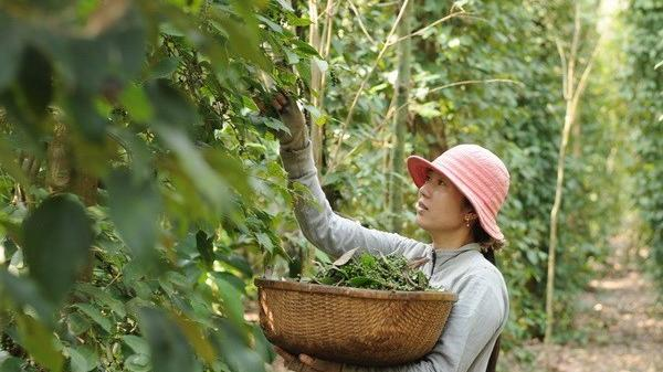 Giá hồ tiêu Phú Quốc giảm sâu, nhiều nông dân bỏ nghề