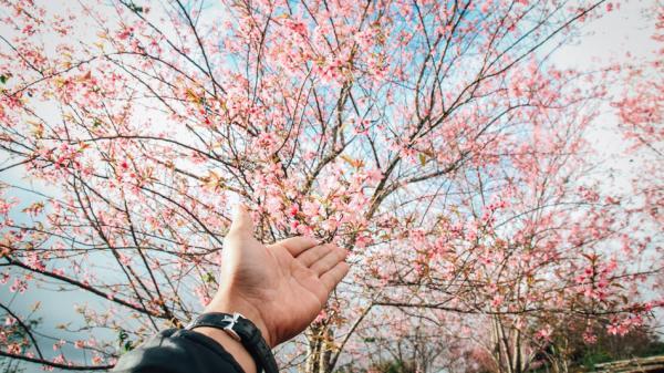 Người lạ ơi mình hẹn hò nơi rừng hoa anh đào nhuộm hồng Kon Tum nhé!