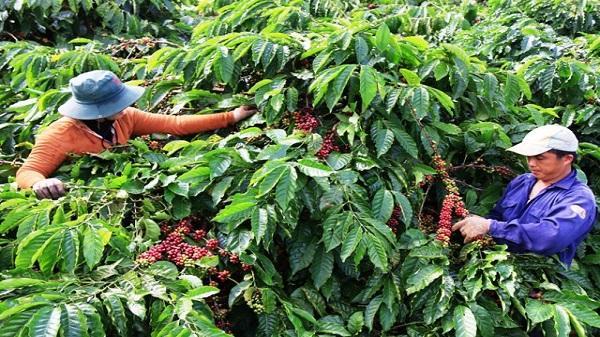 Giá nông sản hôm nay 2/4: Giá cà phê cao nhất 38.100 đồng/kg, giá tiêu đã dừng tăng