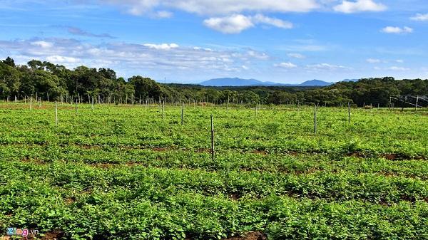 Kon Tum: Nhà giàu đổ xô lên Măng Đen trồng rau sạch, thuốc quý