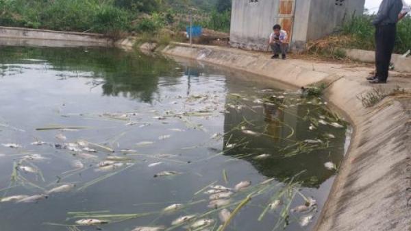 Cá rô phi chết bất thường tại Kon Tum