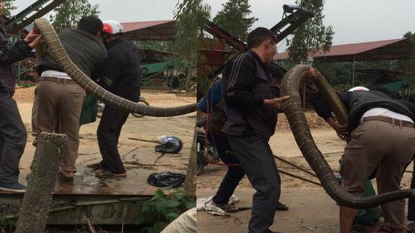 Người dân bắt được rắn hổ mang chúa khủng nặng khoảng 20kg