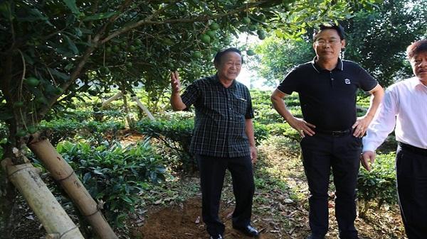 Trồng mắc ca xen chè - mô hình mới ở Lai Châu