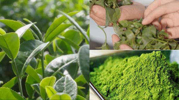 Bí quyết có 1-0-2 của người Lai Châu khiến bột matcha màu xanh mơn mởn, thơm ngon nức tiếng