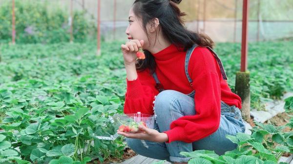 Hái mỏi tay những trái dâu chín căng mọng ở vườn dâu chú Hùng Đà Lạt