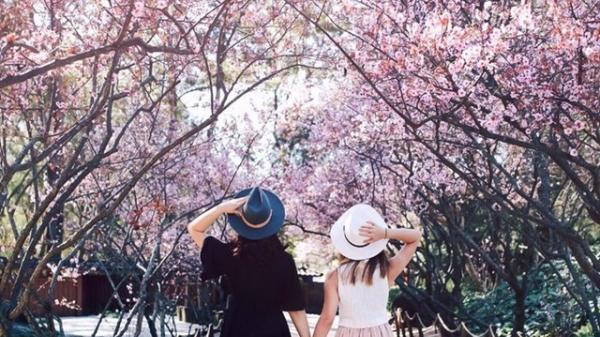 HOT HOT: Lễ hội hoa mai anh đào sắp diễn ra tại Đà Lạt