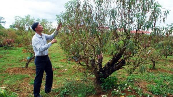 Vườn đào bạc tỷ trên cao nguyên Bảo Lộc (Lâm Đồng)