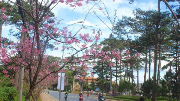Ngày dự kiến khai hội mai anh đào tổ chức tại TP Đà Lạt, tỉnh Lâm Đồng