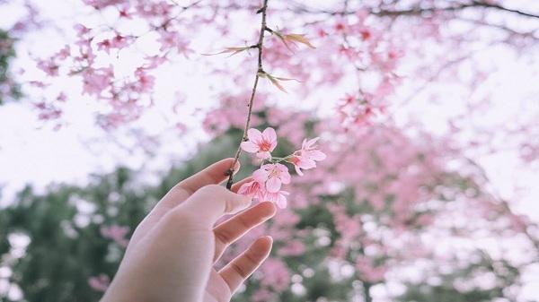 Đi nhanh kẻo lỡ một mùa mai anh đào đang mùa nở rộ nhuốm sắc hồng phai giữa trời Đà Lạt