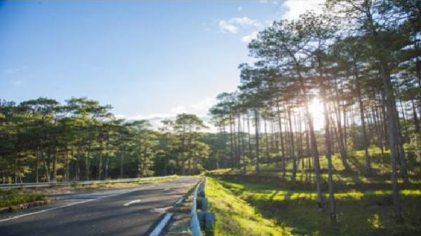 Đà Lạt cho phép chặt hạ 18 cây thông có nguy cơ bị đổ vào mùa mưa bão