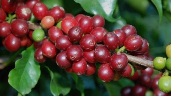 Giá xuống thấp nhưng nông dân Di Linh vẫn bám chặt' vào cây cà phê