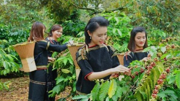 Giá cà phê (20/11) tiếp tục giảm 300 đồng/kg