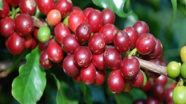 Nông sản ngày 28/11: Giá cà phê nhích nhẹ