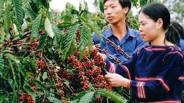 Thị trường giá nông sản hôm nay 29/11: Giá tiêu tăng, giá cà phê quay đầu giảm